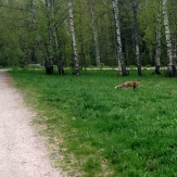 Saw a fox when cycling to work one morning. :)
