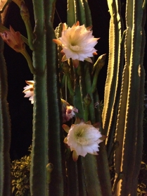 Saw a cactus blooming.
