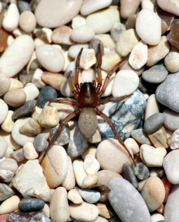 Spotted this spider on the beach in Greece.