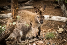Wallaby in Freycinet National Park