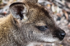 Close-up of a Wallaby