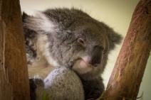 Sleepy Koala at Bonorong Wildlife Sanctuary