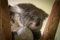 Sleepy Koala at Bonorong Wildlife Sanctuary