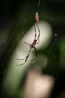 A spider in Sydney's Royal Botanic Gardens