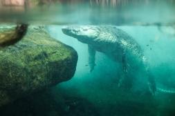 A big croc at a wildlife park in Sydney.