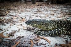 A cool lizard near Whitehaven Beach